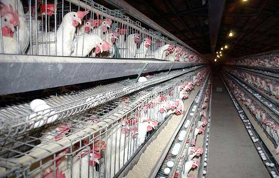 ثبت نام در کلاس آموزشی نظارت و تعیین ظرفیت واحدهای مرغ تخمگذار